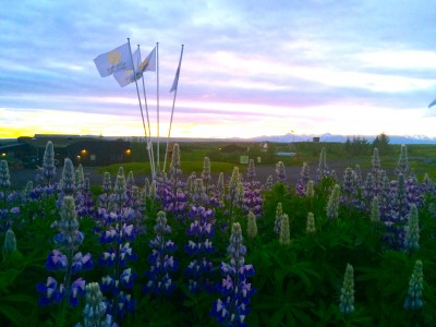 Photo of Lupine flowers at the village during the midnight sun.