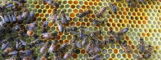 Honey Bees filling wax cells