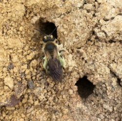 Mining bee with pollen
