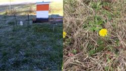 Freezing ground and dandelion