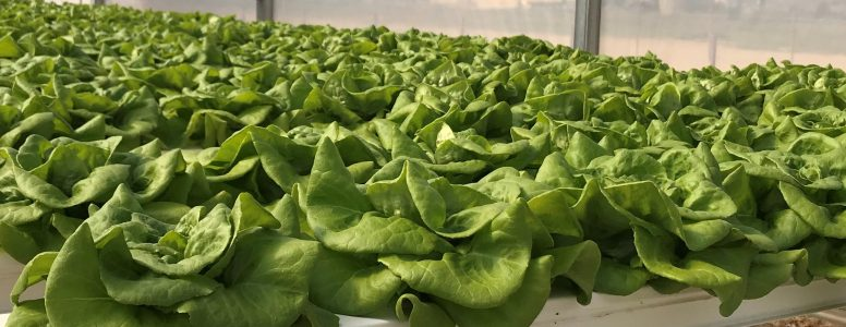 Photo of lettuce growing in an aquaponics system.