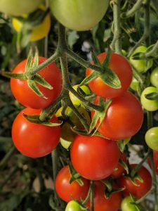 Photo of tomatoes still growing on plant.