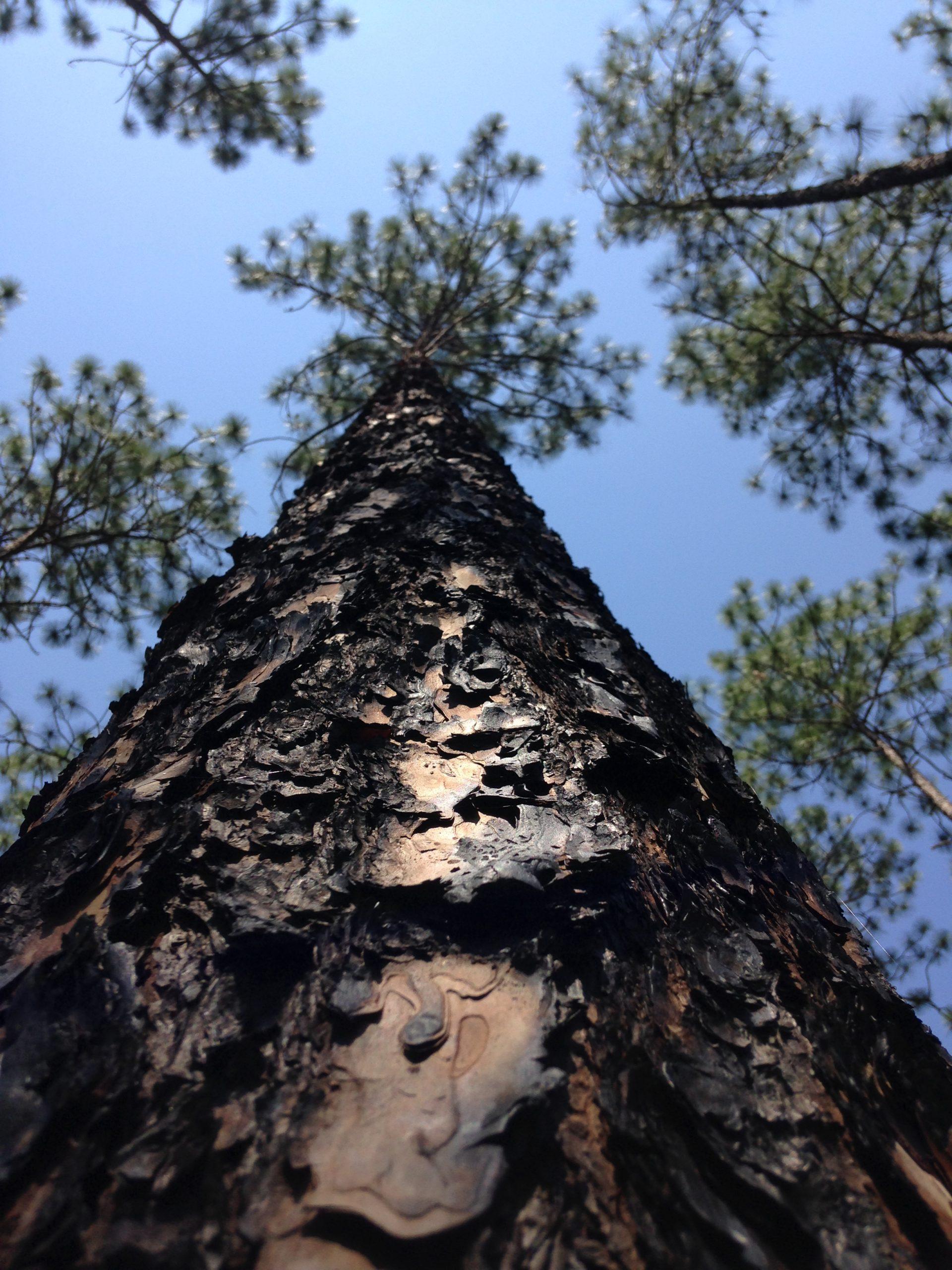 Photo of a pine tree.